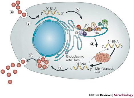 hepatitis c life cycle
